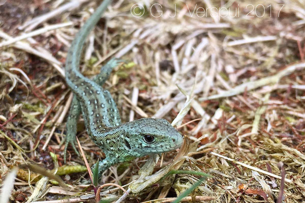 Juvenile Sand Lizard - Lacerta agilis with special paint on it, (Iphone)