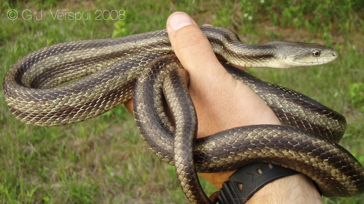 Yellow rat snake - Pantherophis obsoleta quadrivittata