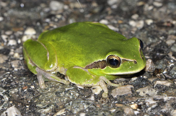 Stripeless Tree Frog - Hyla meridionalis   In Situ