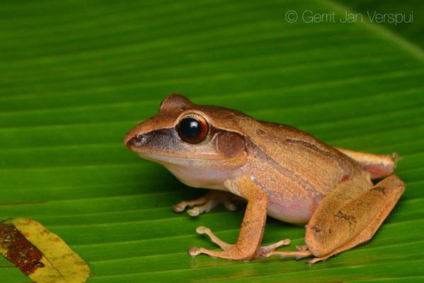 Craugaster noblei