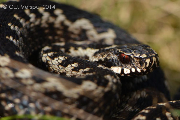 An other Male Adder - Vipera berus
