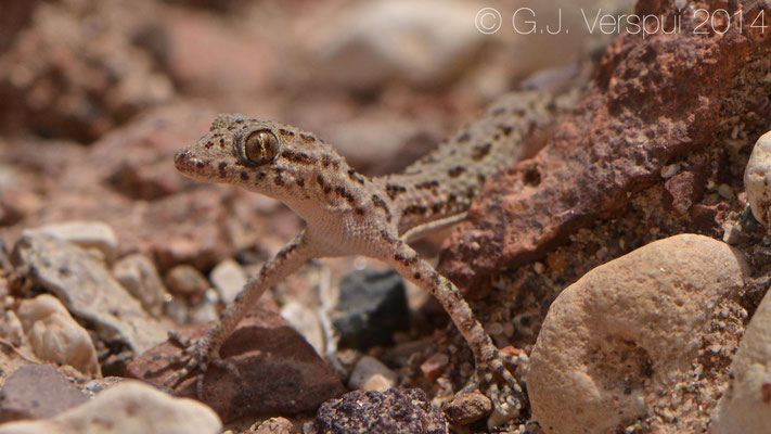 Rough Tailed Gecko - Cyrtopodion scabrum, In Situ