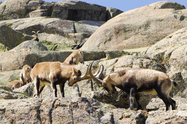 Gredos Ibex - Capra pyrenaica victoriae