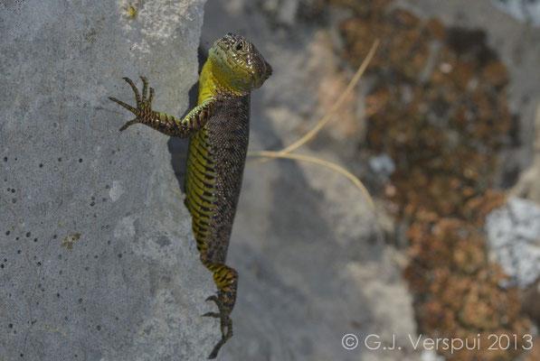 Mosor Rock Lizard - Dinarolacerta mosorensis