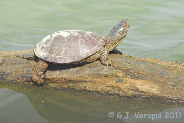 European Pond Terrapin - Emys orbicularis    In Situ