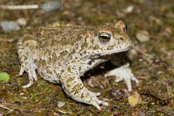 Natterjack Toad - Epidalea calamita, In Situ