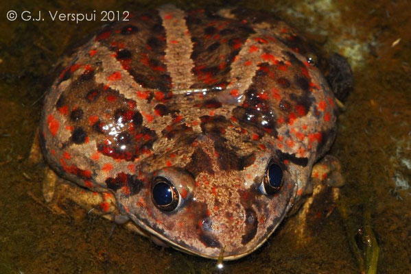 Finally, my first Common Spadefoot Toad - Pelobates fuscus