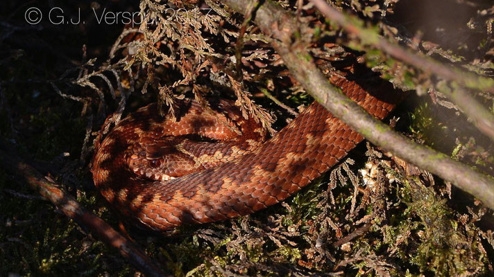 Subadult female Adder - Vipera berus, in situ