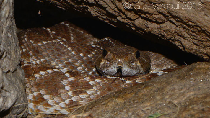 Red Diamond Rattlesnake (Crotalus ruber) In Situ