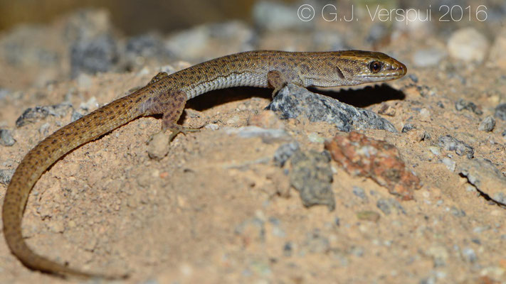 Desert Night Lizard (Xantusia vigilis)