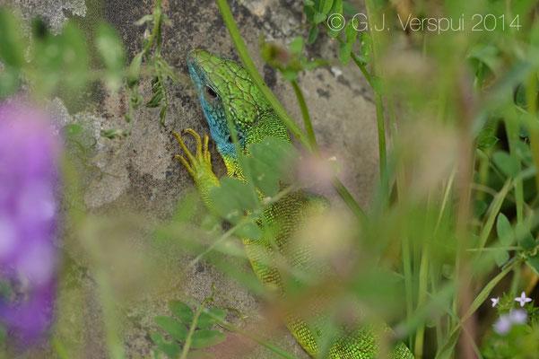Western Green Lizard - Lacerta bilineata chloronota