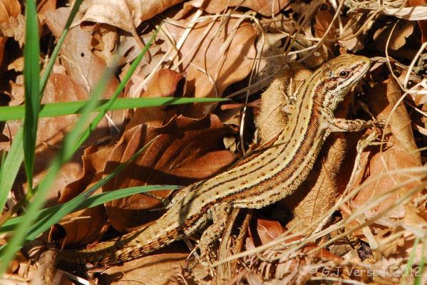 Viviparous Lizard - Zootoca vivipara louislantzi    In Situ