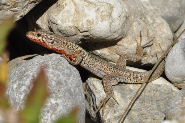 Erhard's Wall Lizard - Podarcis erhardii livadiacus   In Situ