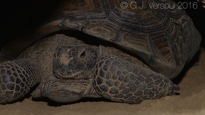 Desert Tortoise (Gopherus agassizii) Still inside his burrow, but on his way out.  In Situ