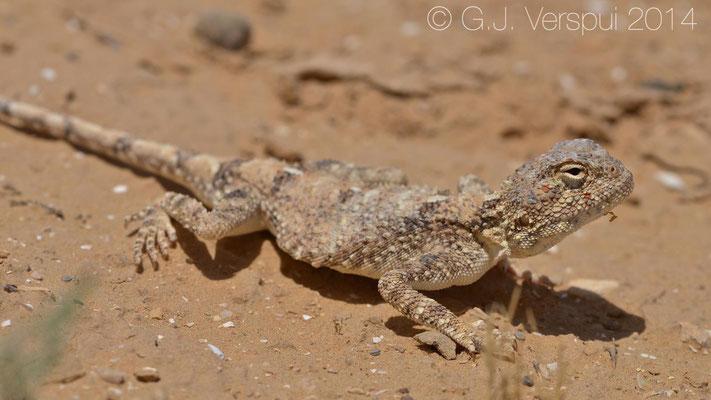 Male Desert Agama - Trapelus pallidus, In Situ
