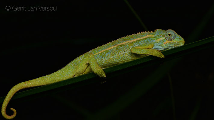 An other Montane Side-striped Chameleon - Trioceros ellioti