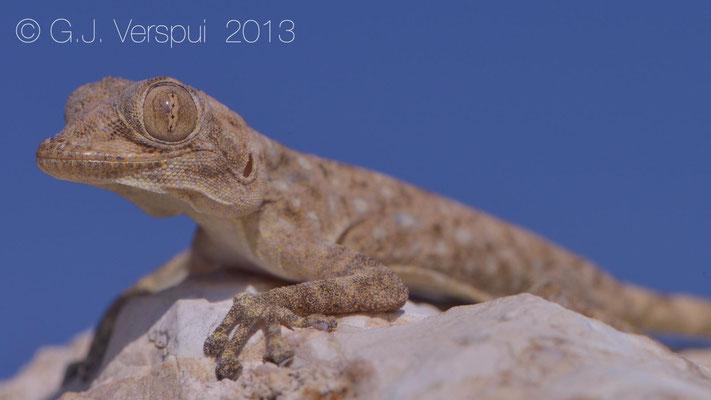 Sinai Fan-Fingered Gecko - Ptyodactylus guttatus