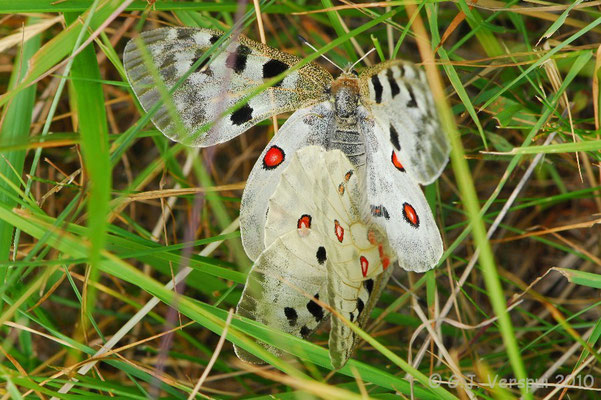 Mountain Apollo - Parnassius apollo