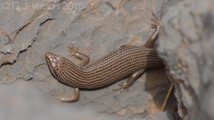 Trachylepis tessellata, In Situ
