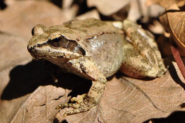 Balkan Stream Frog - Rana graeca
