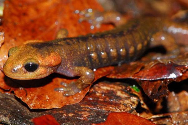 Salamandra salamandra alfredschmidti, Asturias, Spain, April 2012