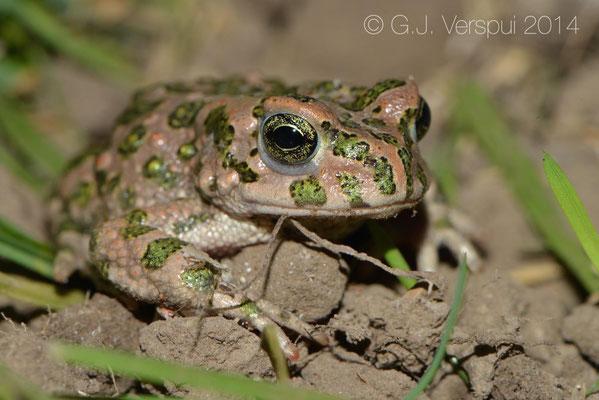 Green Toad - Bufotes viridis