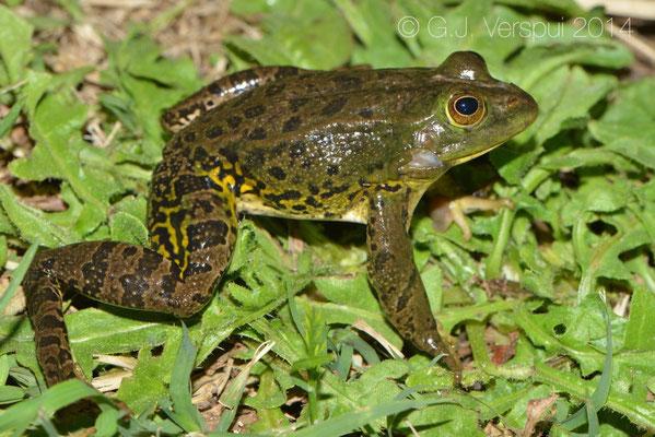 Pool Frog - Pelophylax lessonae bergeri