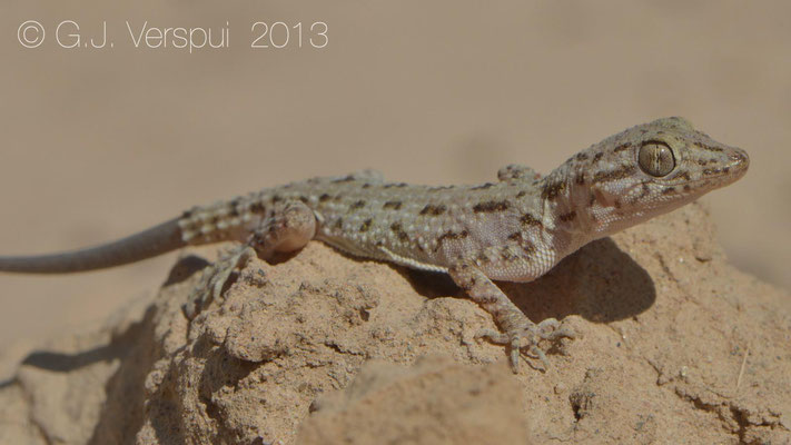 Rough Tailed Gecko - Cyrtopodion scabrum