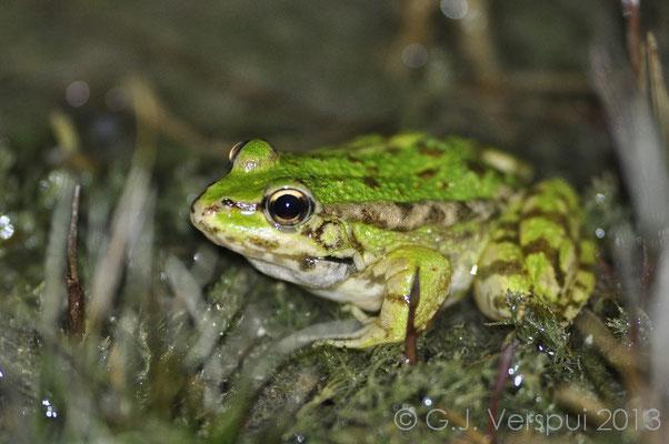 Cretan Water Frog, Pelophylax cretensis