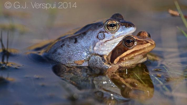 Moor Frogs in amplexus - Rana arvalis