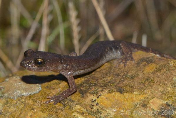 Gené's Cave Salamander - Speleomantes genei