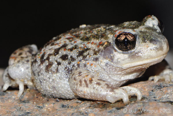 Iberian Midwife Toad - Alytes cisternasii