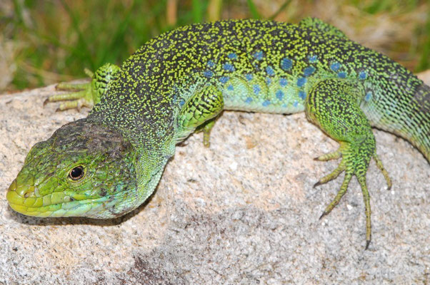 Ocellated Lizard - Timon lepidus ibericus (Male)