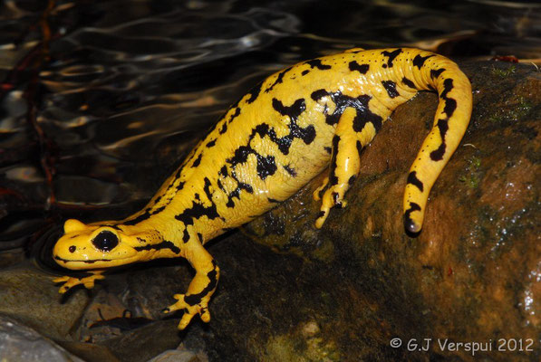 Fire Salamander - Salamandra salamandra fastuosa (female)    In Situ