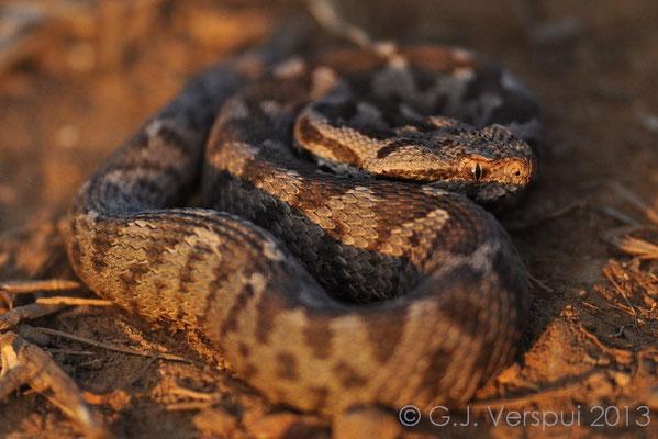 Ottoman Viper - Montivipera xanthina at last light.
