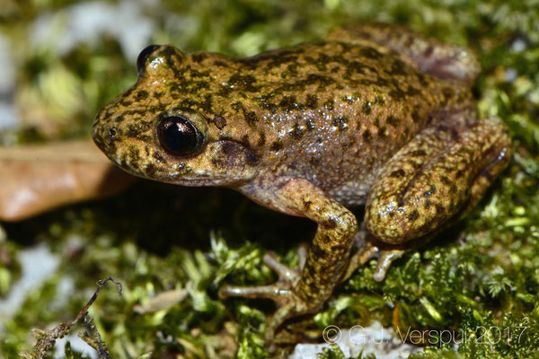 Majorcan Midwife Toad - Alytes muletensis