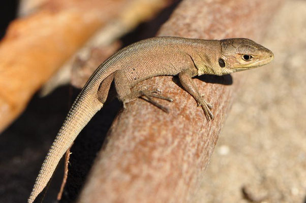 Balkan Green Lizard - Lacerta trilineata (Juvenile)