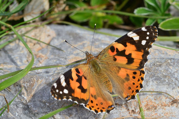 Painted Lady - Vanessa cardui  (NL: Distelvlinder)