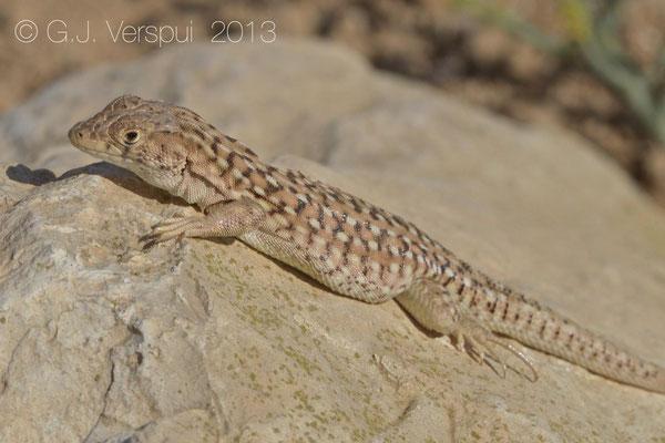 Beer Sheva Fringe-Fingered Lizard - Acanthodactylus beershebensis    In Situ