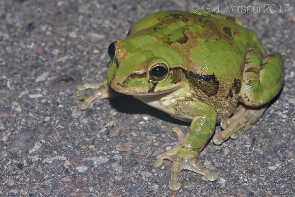 Smilisca baudinii, powerful jumping frogs, feared because it black-eyed Andy!
