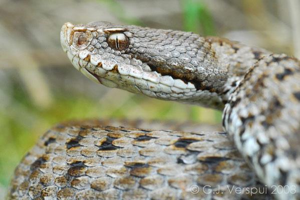Asp Viper - Vipera aspis   (Male)