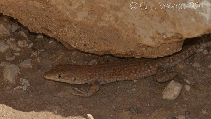 Small Spotted Lizard - Mesalina guttulata, In Situ