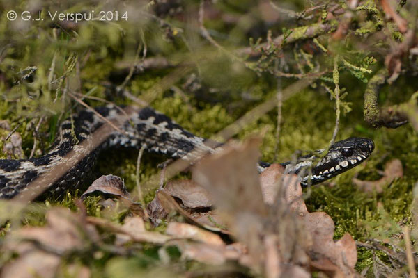 The same male Adder looking for his girl again after chasing the other one away, In Situ