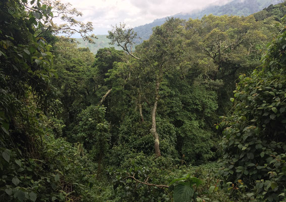Rwenzori rainforest, most of it is cut down already, but the remaining parts are very beautiful.