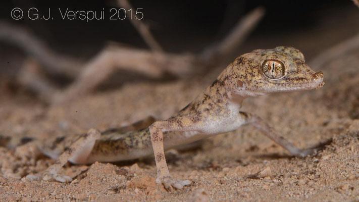 Pseudoceramodactylus khobarensis
