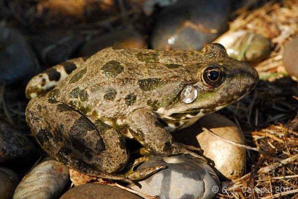 Green Frog species