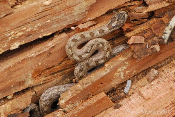 Southern Smooth Snake - Coronella girondica (juvenile)   In Situ