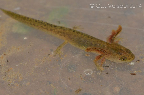Northern Banded Newt - Ommatotriton ophryticus larvae