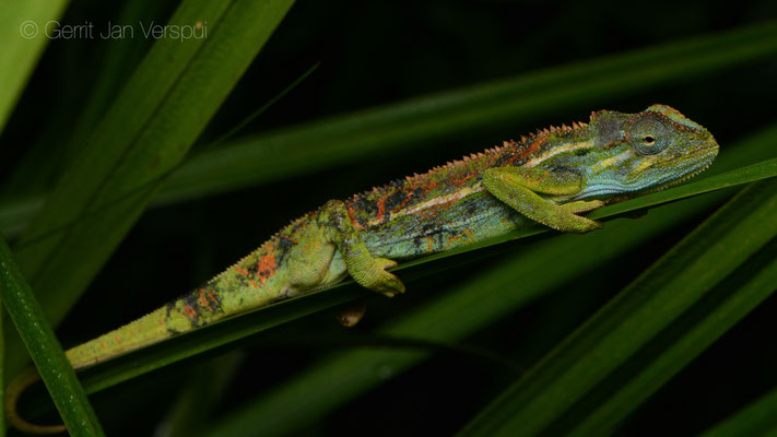 Male  Montane Side-striped Chameleon - Trioceros ellioti, just after I found it.