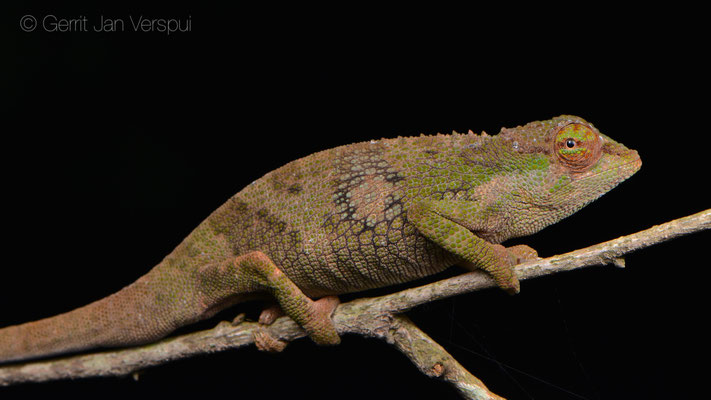 Male Tolley's Forest Chameleon - Kinyongia tolleyae